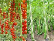 Выращивание Томата и Огурца