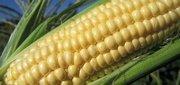 Кукуруза фуражная, подсолнечное масло, шрот подсолнечника, комбикорма
