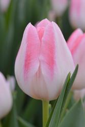Луковицы тюльпанов оптом (для ВЫГОНКИ К 8 Марта) из Голландии